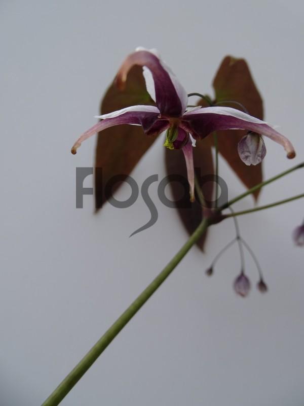 Epimedium acuminatum 'Monastry'