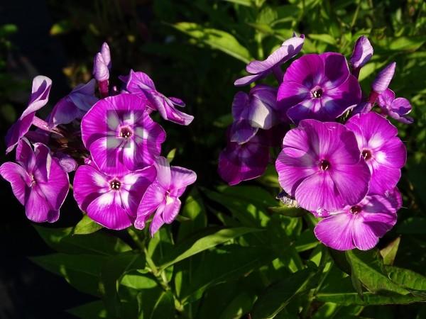 Phlox paniculata 'Laura'