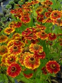 Helenium 'Can Can'