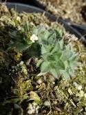 Eritrichium tianschanicum