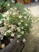 Eremogone ledebouriana v. pauciflora