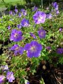 Geranium 'Azure Rush'