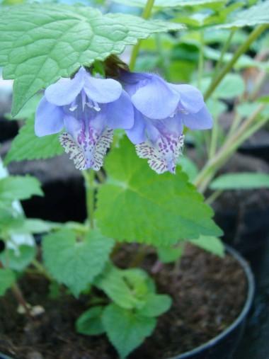 Meehania urticifolia 'Japan Blaü'