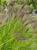 Pennisetum alopecuroides 'Cassian'