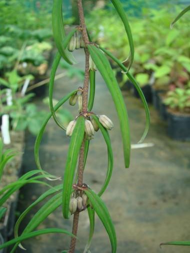 Polygonatum fuscum