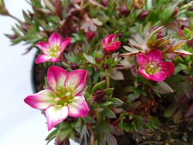 Saxifraga x arendsii 'Alpino Early Picotee'