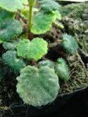 Saxifraga epiphylla 'Little Piggy'