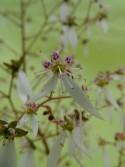 Saxifraga stolonifera 'Kinki purple' BSWJ 4972