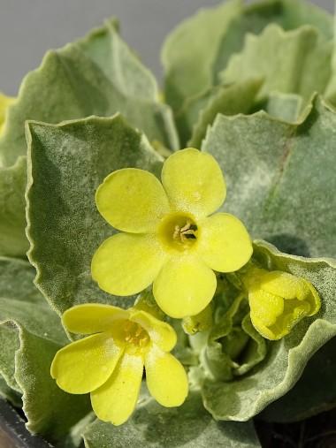 Primula auricula ssp. Bauhinii