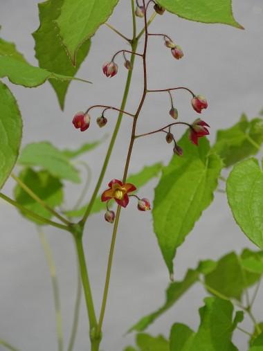 Epimedium alpinum
