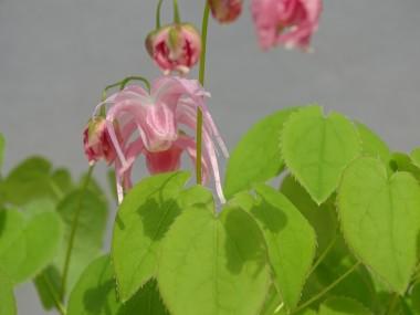 Epimedium x 'Akagi Sakura'