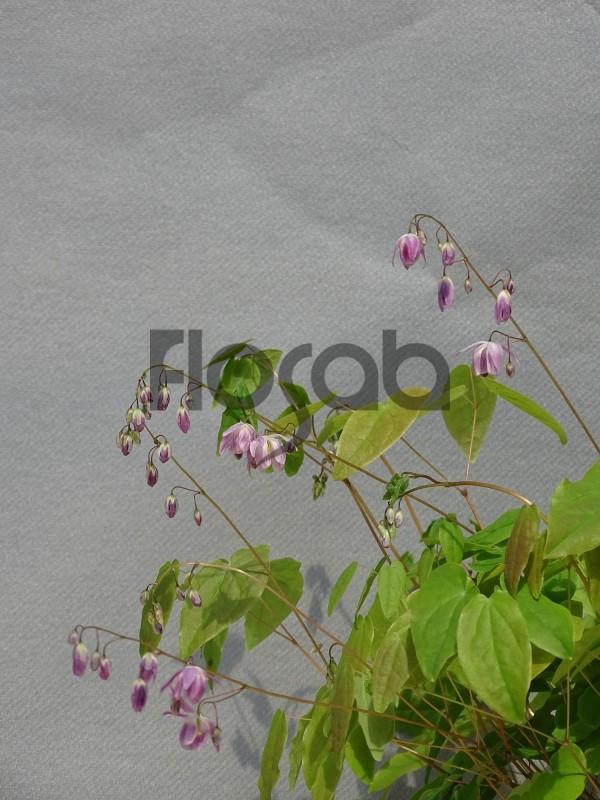 Epimedium x 'Harugasumi'