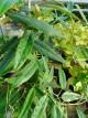 Rubus bambusarum