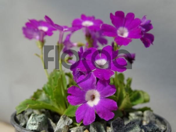 Primula villosa ssp.commutata