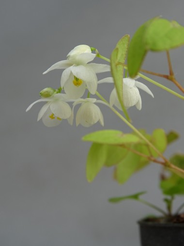 Epimedium tenzanbaikaikariscy