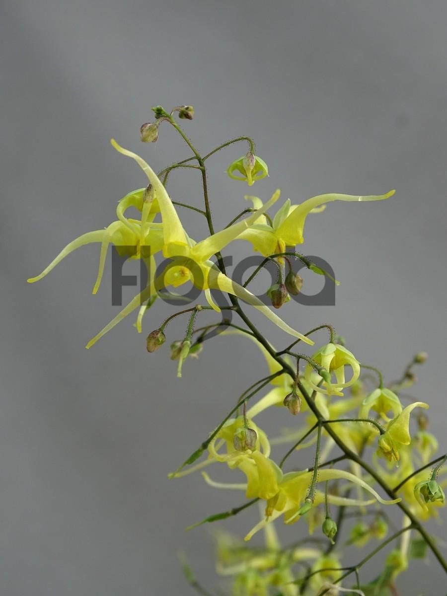 Epimedium x 39 sphinx twinkler 39 plante d 39 ombre for Plantes a commander