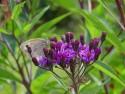 Vernonia altissima