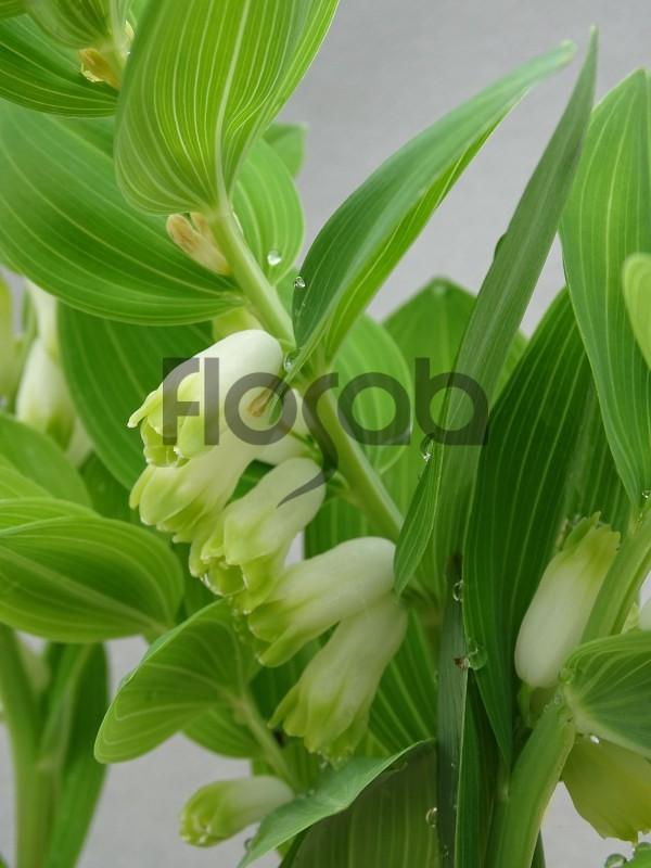 Polygonatum odoratum 'Dunes of Yunide'