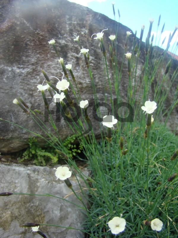 Dianthus minutiflorus