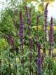 Salvia nemorosa 'Caradonna'