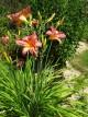 Hemerocallis 'Pink Stripe'