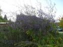 Isodon serra