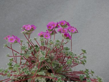 Androsace jacquemontii 'Pink form'