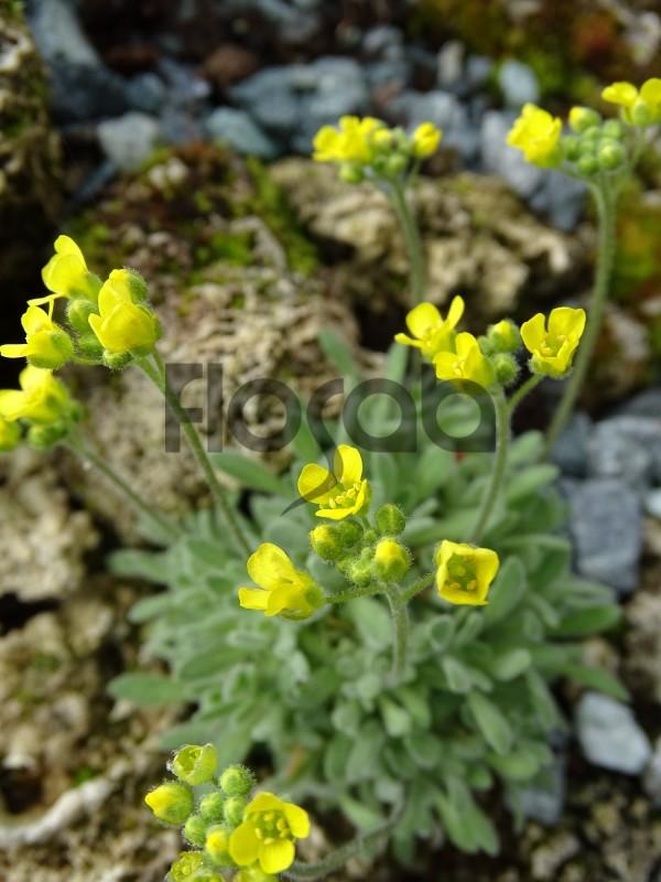 Draba rosularis
