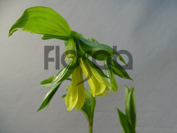Disporum uniflorum