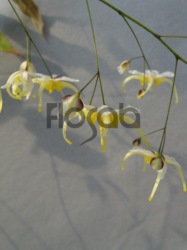 Epimedium acuminatum cc01141