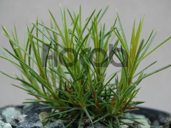 Acantholimon knorringianum