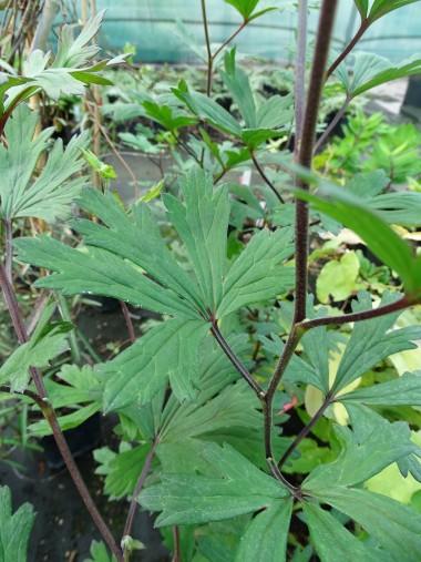 Aconitum uchiyamai