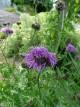 Centaurea alpestris