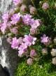 Armeria juniperifolia 'new zealand form'