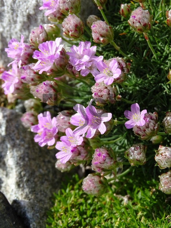 Armeria juniperifolia 'new zealand form'