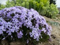 Phlox subulata 'Emmerald Cushion Blue'