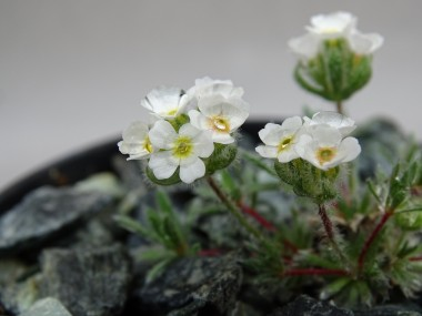 Androsace dasyphylla