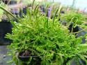 Selaginella douglasii