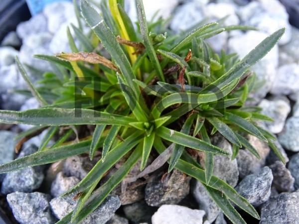 Edraianthus glisicii