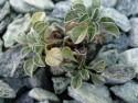 Convolvulus boissieri ssp parnassicus