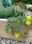 Hypericum aviculariifolium ssp. uniflorum