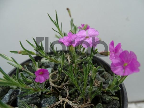 Silene pharnaceifolia