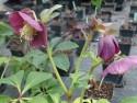 Helleborus orientalis 'Blue Lady'