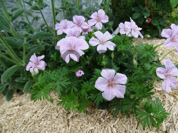 Geranium sanguineum 'Pink Pouf'