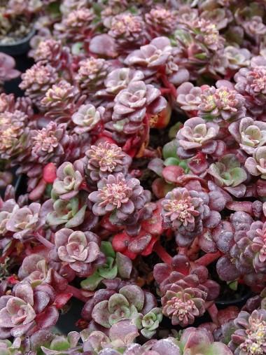 Sedum spathulifolium 'Darkness'