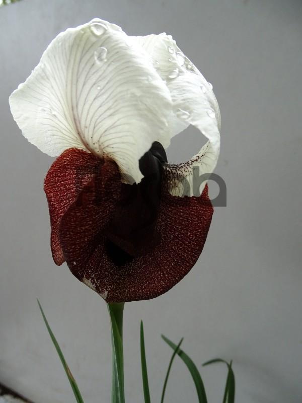 Iris iberica ssp Elegantissima