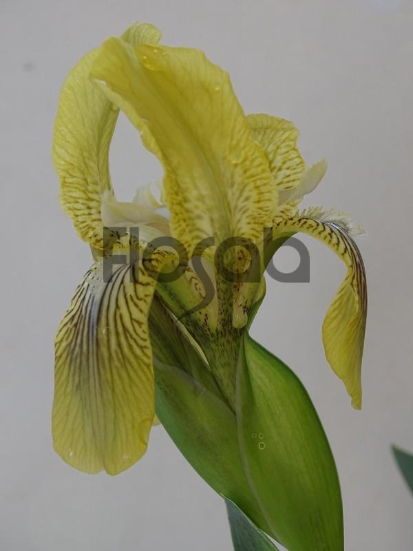 Iris schachtii
