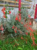 Epilobium canum ssp.angustifolium