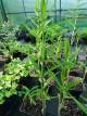 Polygonatum sibiricum