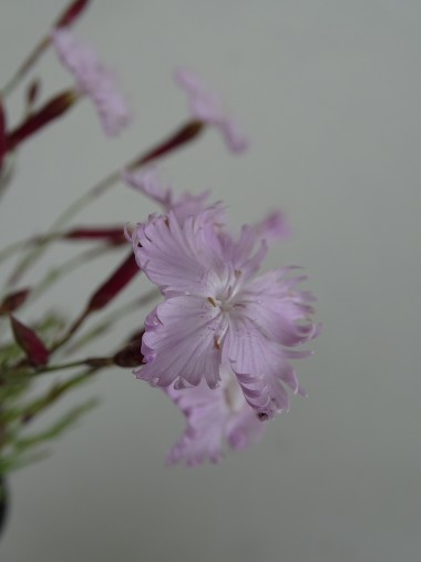 Dianthus graniticus
